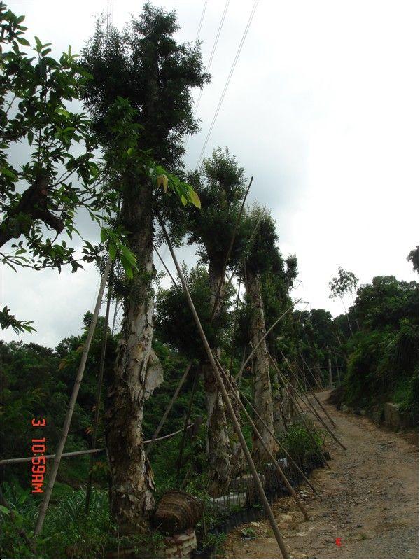 白千层_供应信息_深圳市风景园林网|_深圳市风景园林